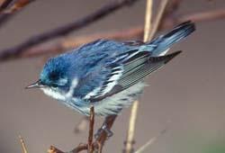 a cerulean warbler