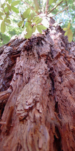 Frank's photo of a redwood
