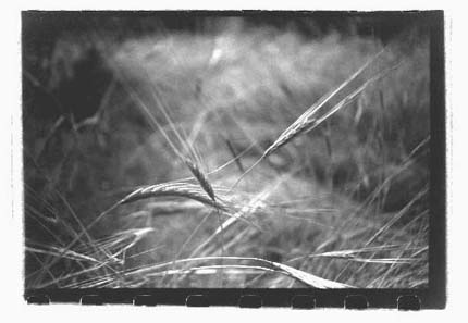 Frank's photo of wheat in Israel